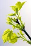 Pasgeboren bladeren Royalty-vrije Stock Foto