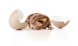 Pasgeboren Britse babykat met eierschaal op wit Stock Foto