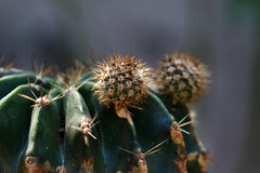 Pasgeboren cactus Stock Foto