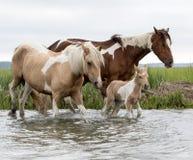 Pasgeboren Chincoteague-veulen die in het water met moeder lopen Royalty-vrije Stock Afbeeldingen