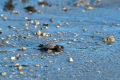 Pasgeboren de schildpad naderbij komende overzees van baby groene golfina Stock Afbeelding