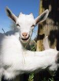 Pasgeboren Dierlijke Albino Goat Explores Foraging Eating-Grasbloem stock foto