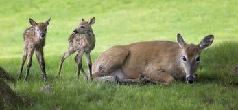 Pasgeboren fawns Stock Afbeelding