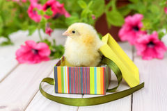 Pasgeboren geel kuiken in een giftdoos op een witte houten achtergrond Stock Foto