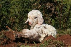 Pasgeboren geit Stock Fotografie