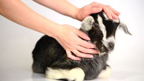 Pasgeboren geit en menselijke handen stock videobeelden