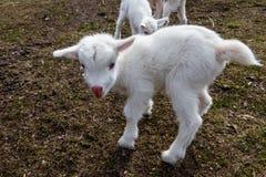 Pasgeboren geit op boerenerf Portret van babygeit Royalty-vrije Stock Foto's