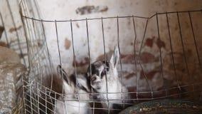 Pasgeboren geiten in een pen binnen een de landbouwschuur stock videobeelden