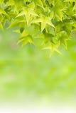 Pasgeboren groene Bladeren Stock Afbeeldingen