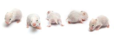 Pasgeboren hamsters royalty-vrije stock foto