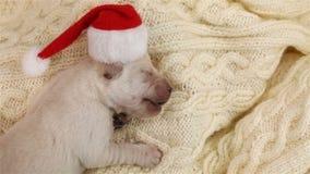 Pasgeboren het puppyhond van Labrador bij Kerstmisslaap met een santahoed stock video