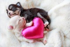 Pasgeboren honden in liefde Stock Foto
