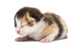 Pasgeboren Hoogland rechtstreeks of vouwenkatje die, 1 week oud liggen stock fotografie