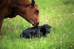 Pasgeboren kalf en het is moeder Royalty-vrije Stock Afbeelding