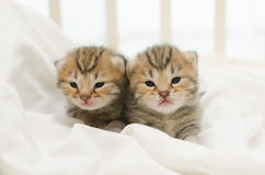 Pasgeboren katje twee van Amerikaanse Shorthair Stock Foto's