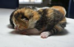 Pasgeboren katjes Stock Afbeelding