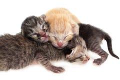 Pasgeboren katten Royalty-vrije Stock Afbeeldingen