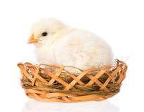 Pasgeboren kip op witte achtergrond stock afbeeldingen
