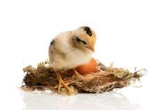 Pasgeboren kuiken in het nest Royalty-vrije Stock Afbeelding