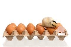 Pasgeboren kuiken met eieren Royalty-vrije Stock Afbeelding