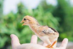 Pasgeboren kuiken op een hand Royalty-vrije Stock Foto's