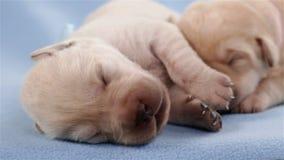 Pasgeboren labrador retriever-puppy die - close-up slapen stock videobeelden