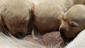 Pasgeboren labrador retriever-puppy die, close-up zuigen stock footage
