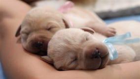 Pasgeboren labrador retriever-puppy die vreedzaam slapen stock footage