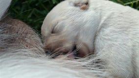 Pasgeboren labrador retriever-in slaap puppy terwijl het zuigen stock videobeelden