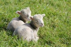 Pasgeboren lammeren in de paddock Stock Afbeelding