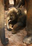 Pasgeboren olifant-kalf, baby royalty-vrije stock foto