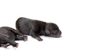 Pasgeboren puppyhond die zwart labrador retriever slapen Royalty-vrije Stock Afbeeldingen