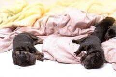 Pasgeboren puppyhond die zwart labrador retriever slapen Stock Foto