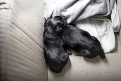 Pasgeboren puppyhond die zwarte labrador retriever-leeftijd slapen één dag Royalty-vrije Stock Foto's