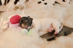 Pasgeboren puppyhonden met stuk speelgoed en handig - drie dagen oude hefboom Russell Terri stock fotografie