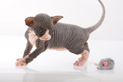 Pasgeboren sfinxkatje Stock Afbeelding