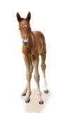 Pasgeboren veulen Royalty-vrije Stock Afbeelding