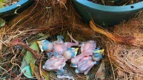 Pasgeboren vogels in het nest stock afbeeldingen