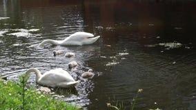 Pasgeboren zwanen op hun nest stock videobeelden
