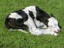 Pasgeboren zwart-witte kalf gekrulde slaap in het midden van een weide stock foto's