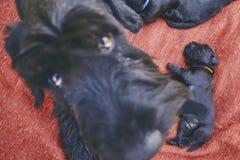 Pasgeborenen van hond Royalty-vrije Stock Afbeelding