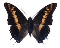 Pasha Butterfly Stock Photography