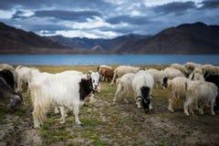 Pashmina Goat Stock Image