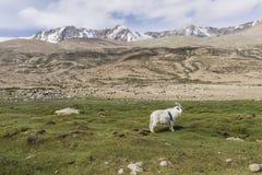 Pashmina goat Royalty Free Stock Image