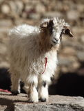 Pashmina goatling Stock Image