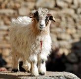 Pashmina goats Royalty Free Stock Photography