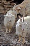 Pashmina goats Royalty Free Stock Photo