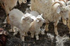Pashmina goats Stock Photography