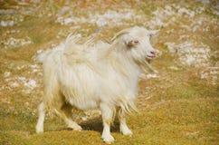 Pashmina himalayano della capra Immagine Stock