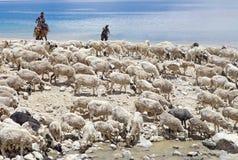 Pashminageiten en herders in Ladakh, India royalty-vrije stock fotografie